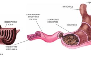 Общий план строения пищеварительной системы человека и методы ее исследования