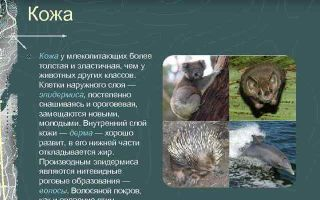 Класс млекопитающие: общая характеристика и внешнее строение