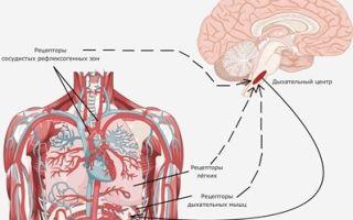 Регуляция дыхания — для студента