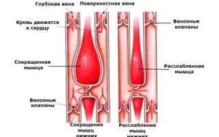 Кровеносная система — для студента
