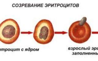 Эритроциты — что это такое и для чего они нужны организму?
