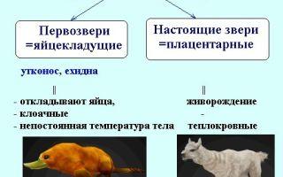 Разнообразие млекопитающих — формы и признаки представителей, эволюционная роль