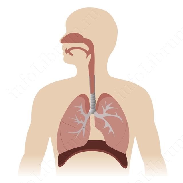 Дыхательный аппарат человека - Для студента
