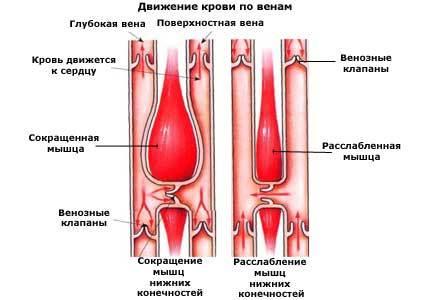 Кровеносная система - Для студента