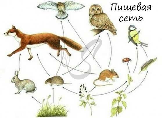 Понятие об ареале, биоценозе, биогеоценозе, пищевых цепях - Для студента