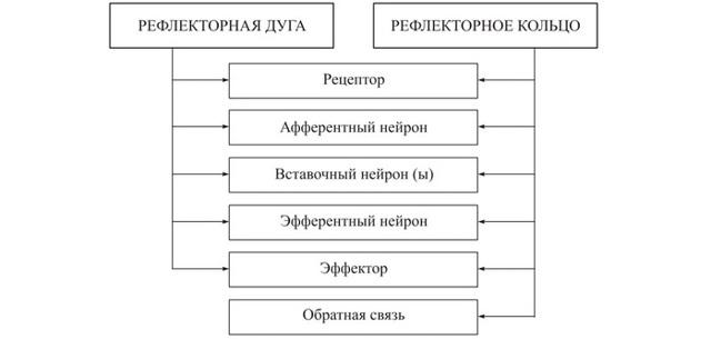 Рефлекторный механизм деятельности нервной системы. Рефлекторные дуги и кольца - Для студента