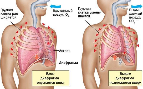 Дыхательные движения - Для студента