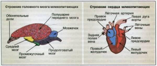 Строение и процессы жизнедеятельности млекопитающих - Для студента