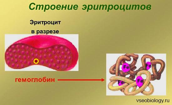 Эритроциты - Для студента